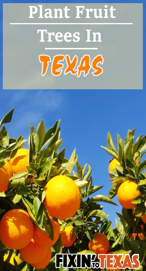 best time to plant fruit trees in Texas