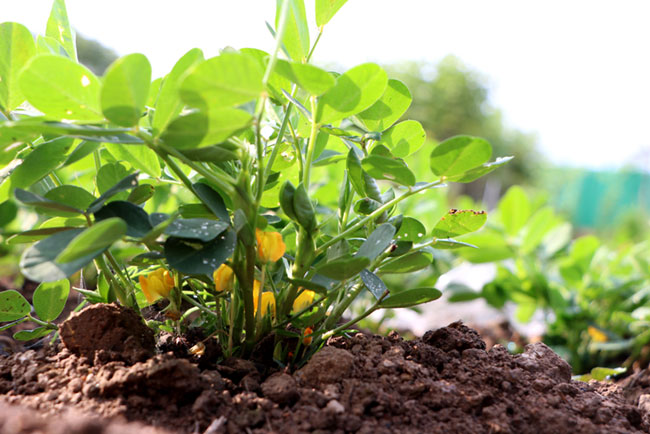 texas a&m vegetable planting guide